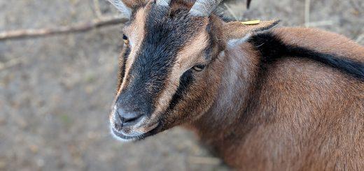 Ziege Berta