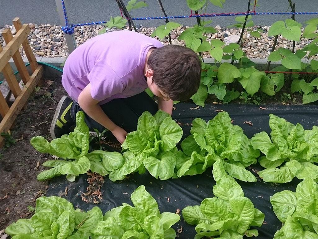 Gartenprojekt  Salatpflege