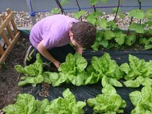 Salatpflege