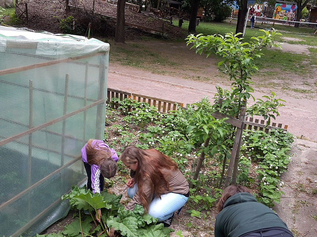 Gartenprojekt Rhabarberpflege