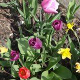 Blühende Blüten in Rot und Lila